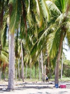 platanitos_climbing_coconut_palms